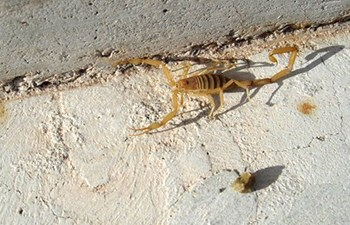 Scorpion at base of concrete wall