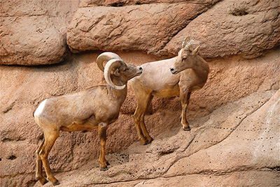 Two desert bighorn sheep on a cliff.
