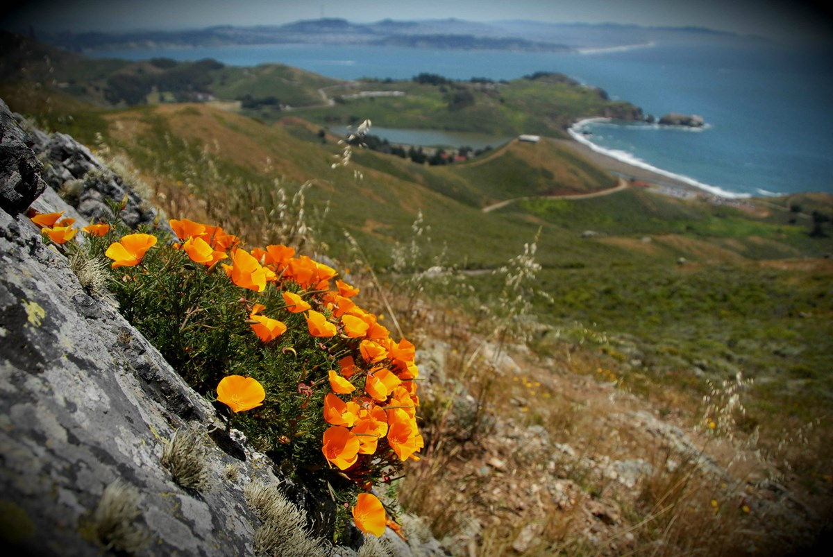 California poppies overlooking Rodeo Beach, Marin Headlands