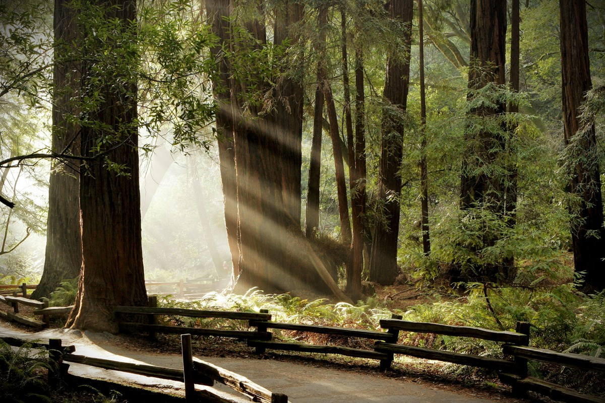 Sunlight filters through the fog at Muir Woods.