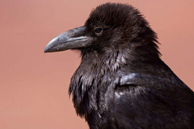 Common raven that can be found on program.