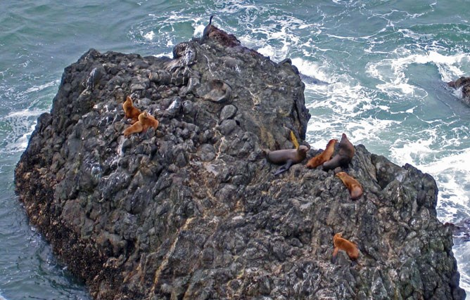 Sea lions bask on an outcropping of pillow basalt.