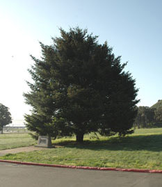 Commemorative Bicentennial tree at Fort Baker