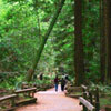 the main trail at Muir Woods