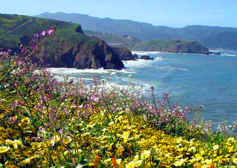 Mori Point coastal hill covered in yellow spring wildflowers and Pacific Ocean