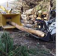 Bobcat tractor loading eucalyptus logs into a chipper.