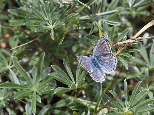 Close up of Mission blue butterfly on lupine host plant