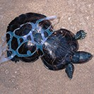 An image of a sea turtle that was caught up in a plastic six-pack holder and eventually grew with it's midsection confined to the narrow space.