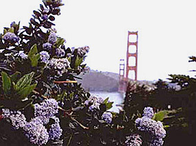 Coast blue blossom overlooking the Golden Gate