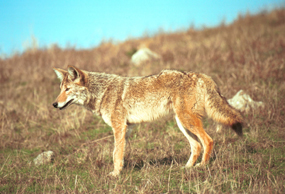 coyote foraging in the rasslands of the marin headlands