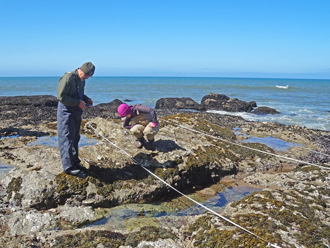 Scientists use transects and measuring tape to look at species that compose tidepool ecosystems