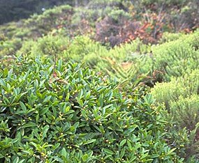 Coffeeberry and other shrubs form a dense canopy of cover for small wildlife