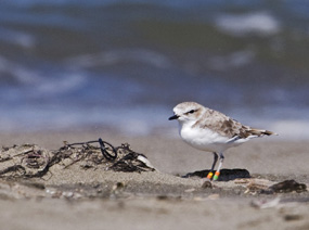 Snowy plovers rest in small depressions in the sand at Ocean Beach