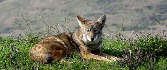 Coyotes are common to the Marin Headlands.