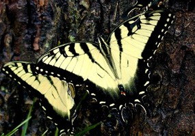 Anise swallowtail butterfly resting on a tree