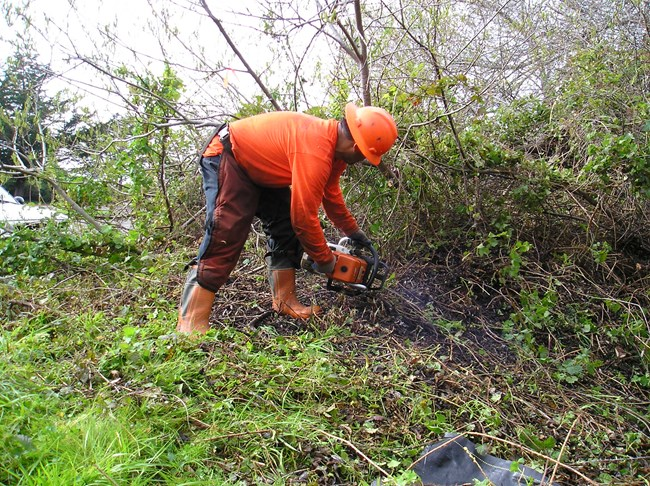 Contractor clearing Cape ivy from riparian habitat