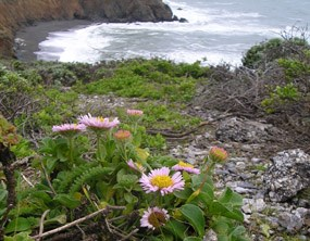 Seaside Daisies overlooking Mori Point