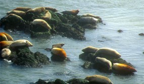 Harbor seals haul-out undisturbed at Point Bonita