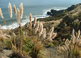 Jubata carpeting the Marin coast and killing off native flora and fauna