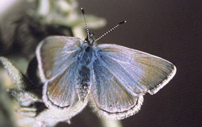 Mission blue butterfly on silver-leaf lupine