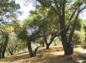 Oak woodland on Mount Tamalpais