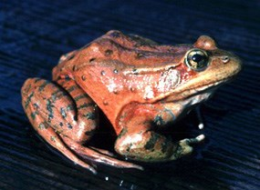 Red legged frog showing of its bright coloration