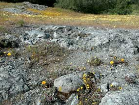 Photo of serpentinite outcrop with yellow flowers
