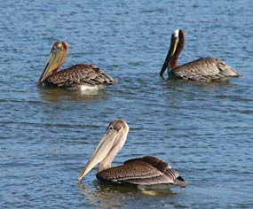 Threatened Brown Pelicans