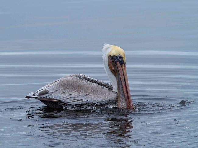 Brown pelican creates ripples in the water at Land's End.
