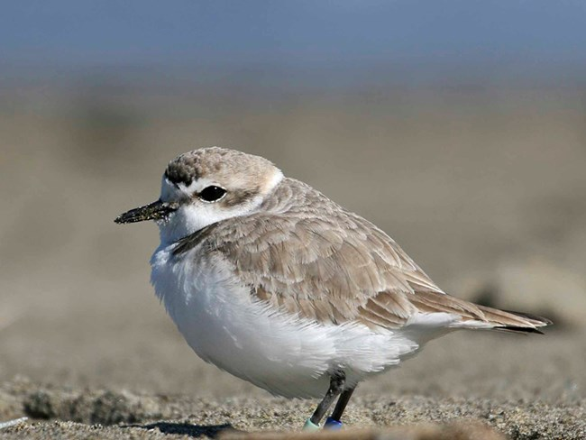 A snowy plovers rests in small depressions in the sand at Ocean Beach.