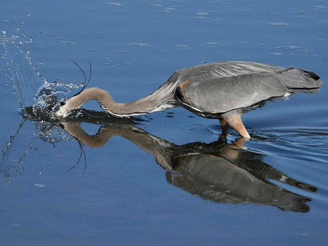 Action shot of blue heron foraging for food.