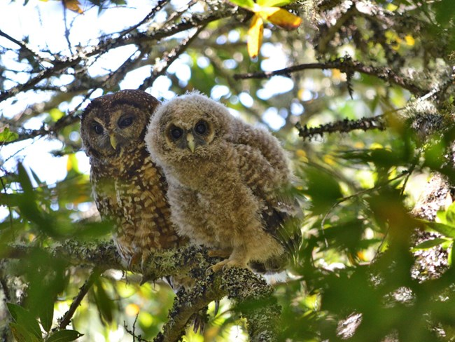 A northern spotted owl parent and owlet share a branch in Marin County.