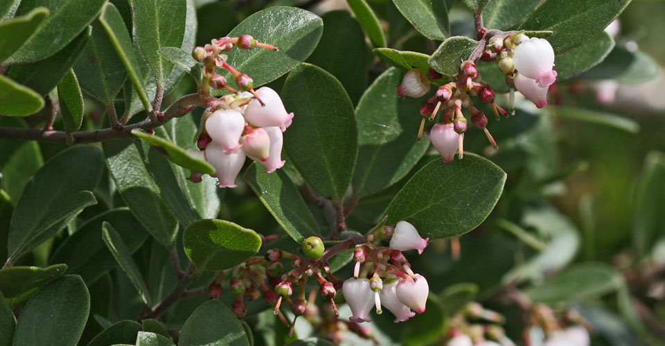 Franciscan manzanita with small pinkish bell shaped blooms