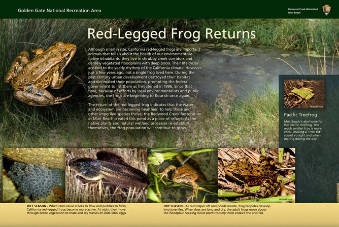 """The Red Legged Frog Returns"" wayside exhibit at Kaashi Way, Muir Beach."