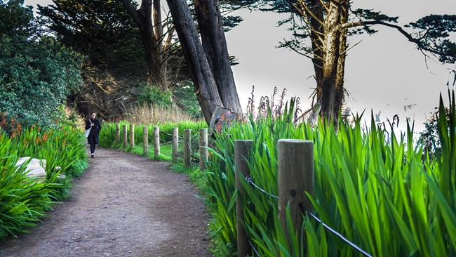 A person walks along flower lined coastal trail in Lands End.