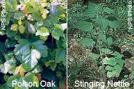Poison Oak and Stinging Nettle