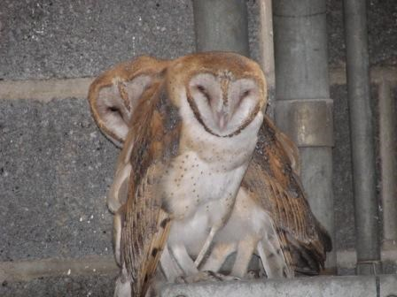 Barn Owls at Fort Jay