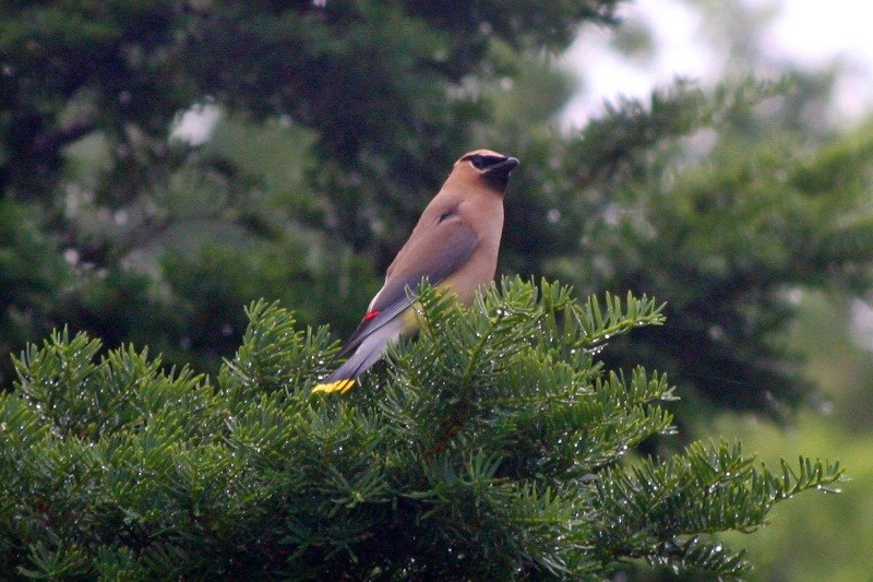A Cedar Waxwing was spotted at Fort Jay on Governors Island.