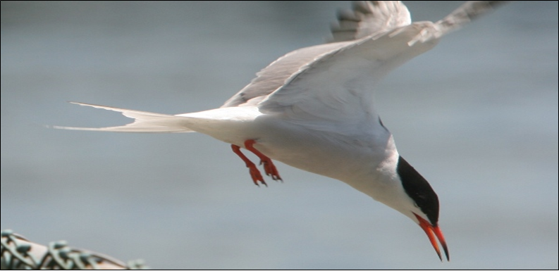 A tern dives on Governors Island
