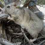 Small rodent known as a woodrat or packrat