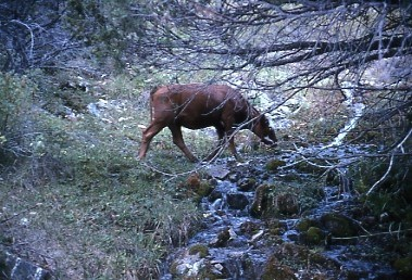 Cows drink from the streams of Great Basin National Park, such as South Fork Big Wash, as they graze