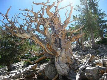 Twisted bristlecone pine