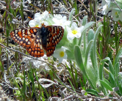 butterfly on cryptantha