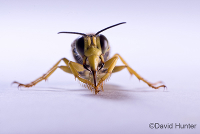 A wasp with hairy yellow legs, big dark eyes, and two antennae