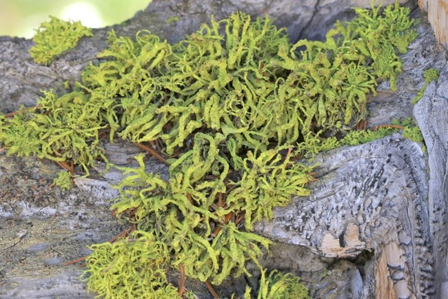 Wolf lichen on a bristlecone pine tree. NPS Photo by G. Baker