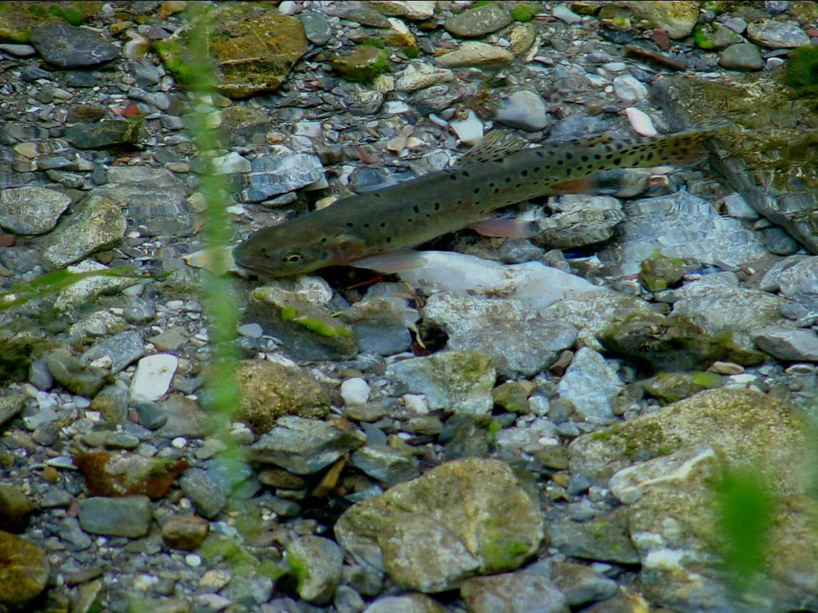 Bonneville Cutthroat Trout