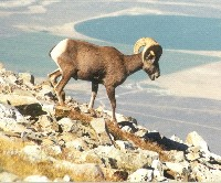Bighorn Sheep are included in Sensitive Species list.