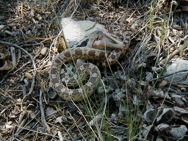 Gopher snake consumes baby bird