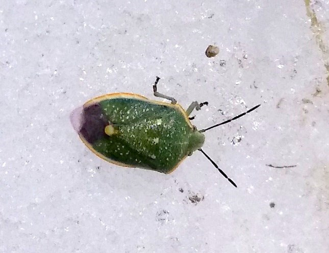 Green true bug on snow