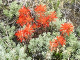 Indian Paintbrush is one plant of many that paints the desert.